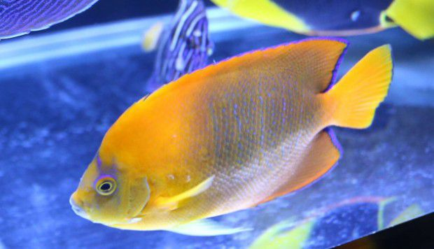 5 of the most expensive marine aquarium fish money can buy for Most expensive saltwater fish