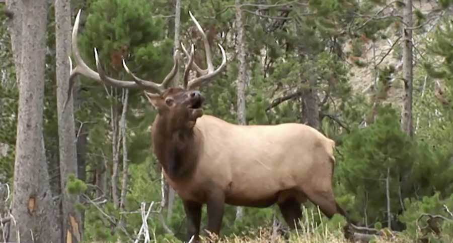 hunter pursue a utah herd bull elk during the late rut video. Black Bedroom Furniture Sets. Home Design Ideas