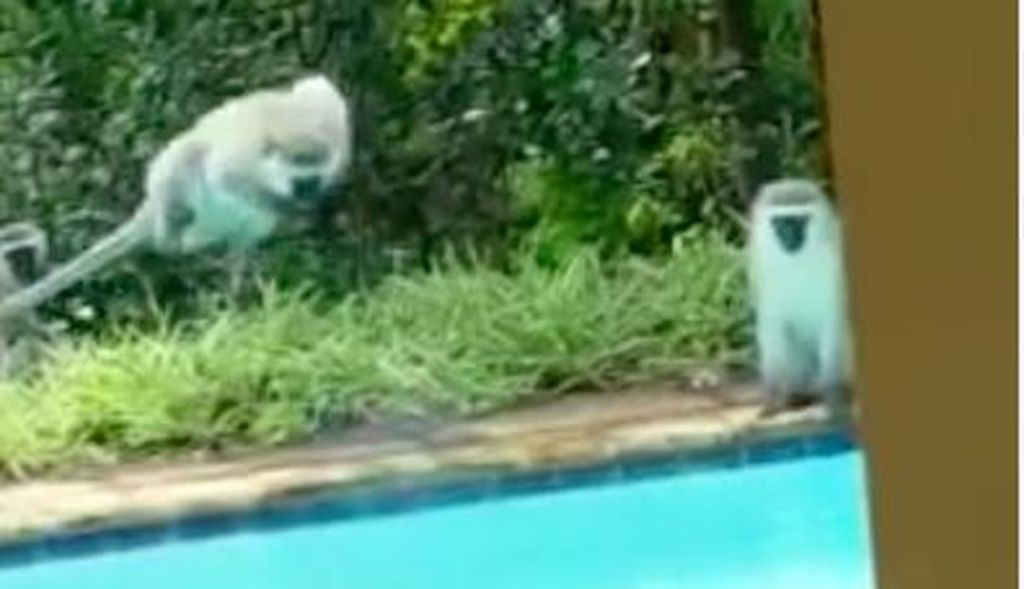 Man shows up at friend 39 s pool finds it full of monkeys for Pool man show