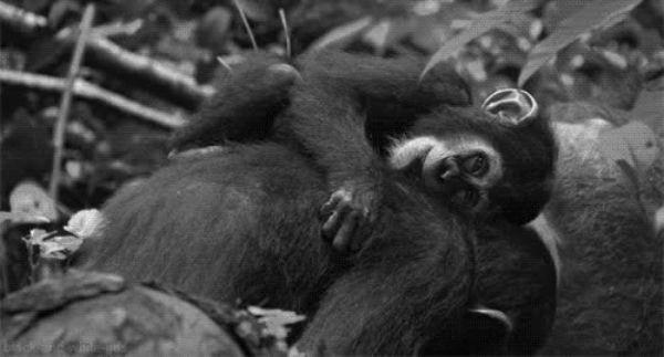 шнайдера обезьяна гиф гифки значительно