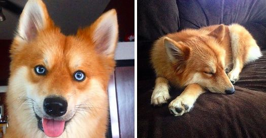 This Pomeranian-Husky Mix Is The Pet Fox You Always Wanted