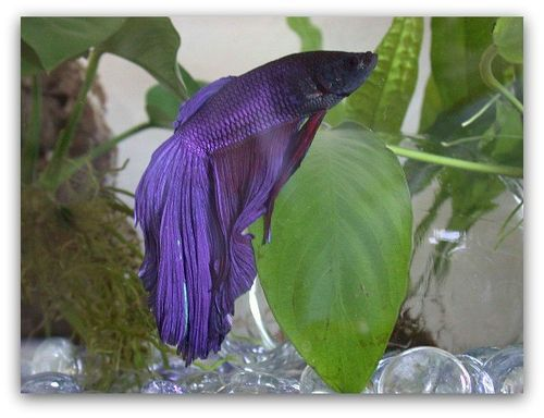 how to optimize betta fish life expectancy the pet blog