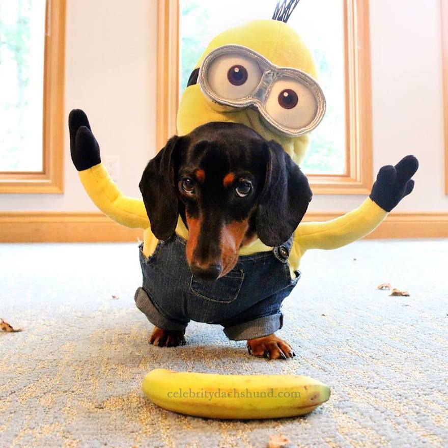 Wiener Dogs Take The Bone For Best Minion Costumes Ever!