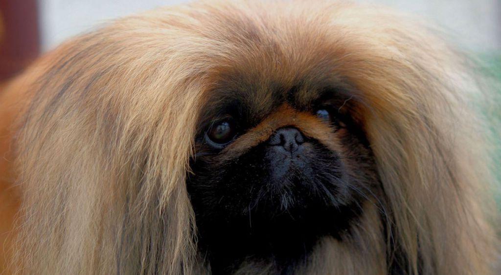 Mini Pekingese Dog For Sale