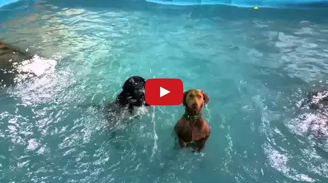 Dog who 39 s bad at swimming realizes he can stand up in pool for Stand up pool