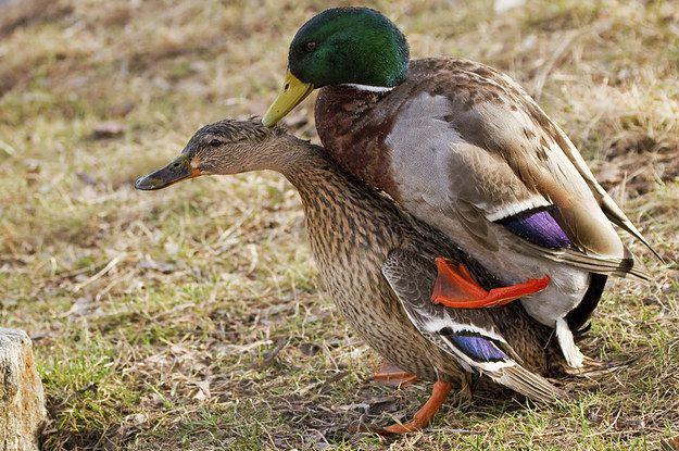 How sex ducks question