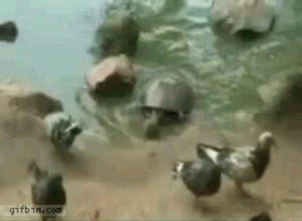 Гифка черепаха и голубь, сделать