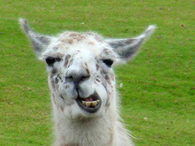 Drunk French Men Kidnap Circus Llama Party Like Champs