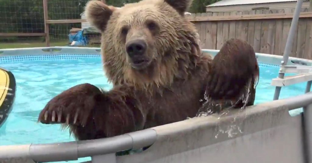 Bear discovers a swimming pool his reaction hilarious for Bears in swimming pool new jersey