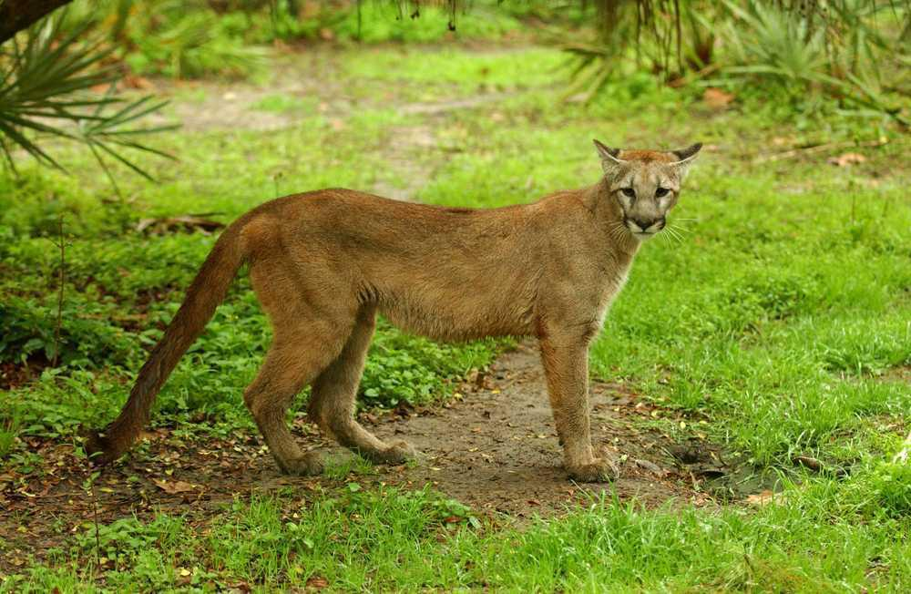 an introduction to the nature of the florida panther We examine the consequences of panthers introduced from texas into south florida, an area housing a small, isolated, inbred and distinct subspecies (puma concolor coryi.