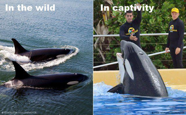 Killer whales in captivity vs wild - photo#36