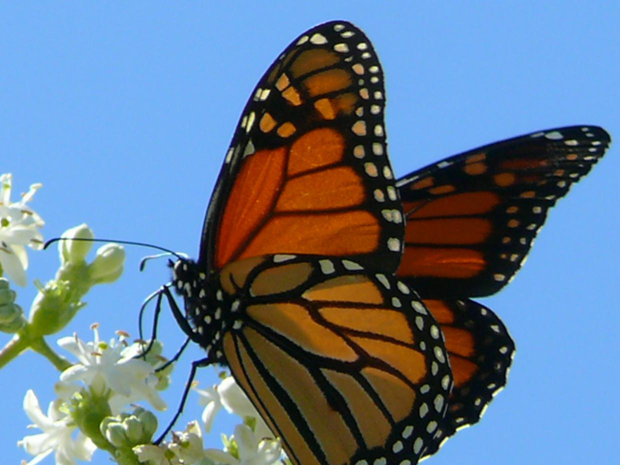 monarch butterfly Find monarch butterfly stock images in hd and millions of other royalty-free stock photos, illustrations, and vectors in the shutterstock collection thousands of new, high-quality pictures added every day.