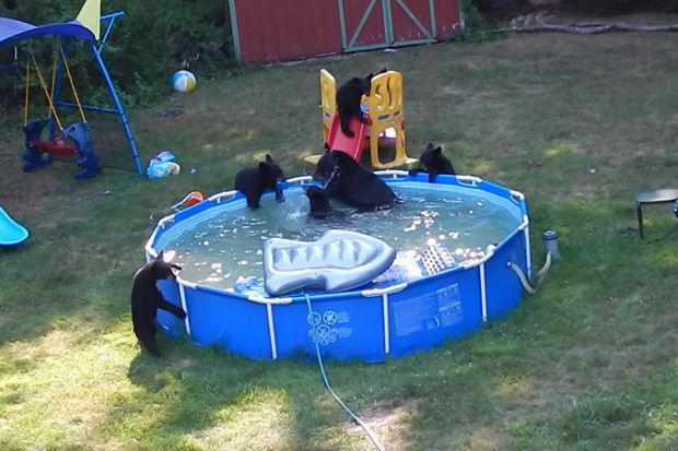 Watch bears cool off in backyard swimming pool in nj for Bears in swimming pool new jersey