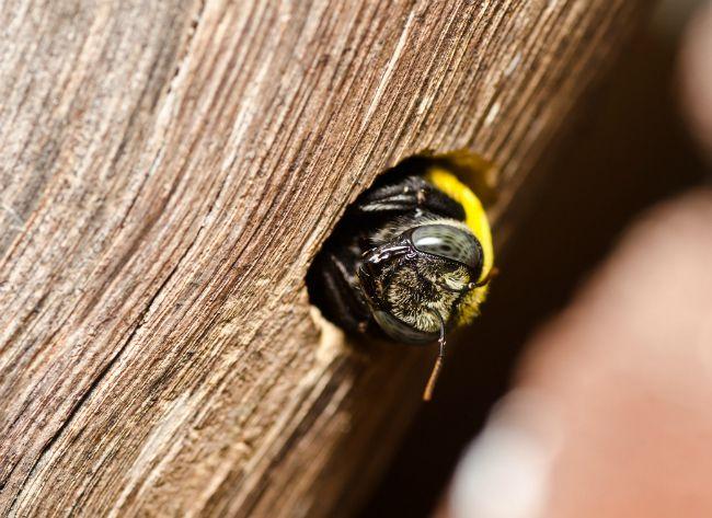 Getting Rid Of Carpenter Bees Bob Vila