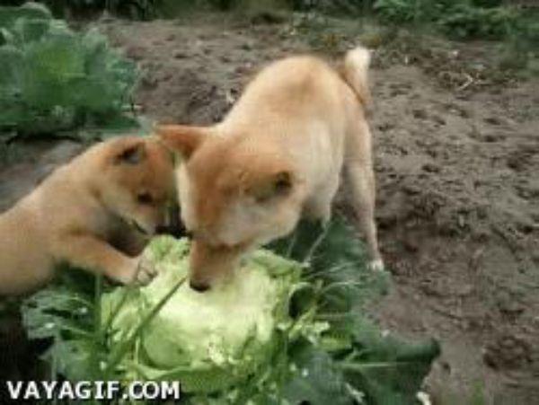 гифка собака жрет капусту пасха