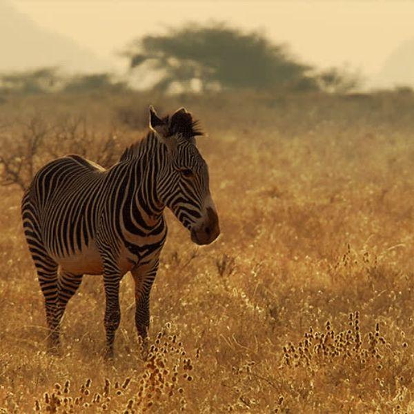 Гифка зебра