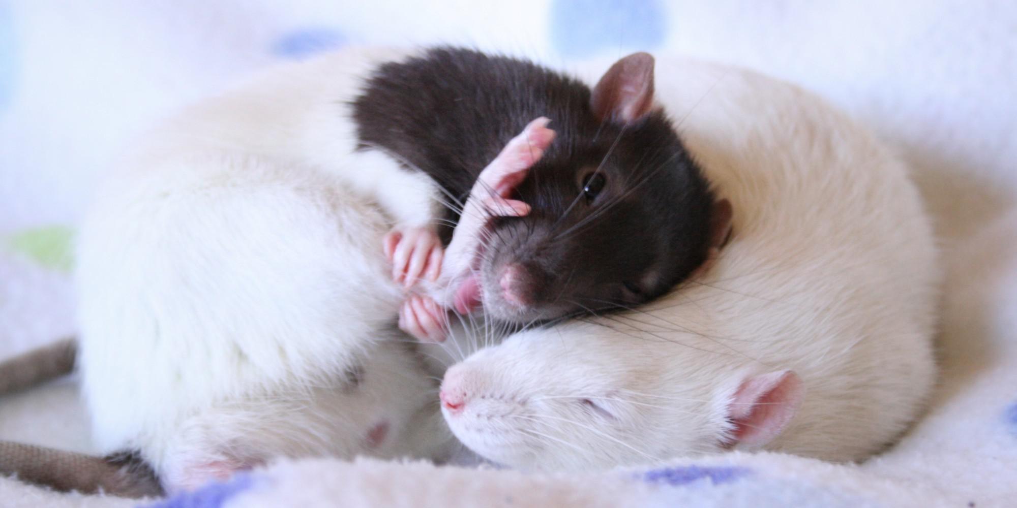 Волкова александра, картинки с крысой спокойной ночи