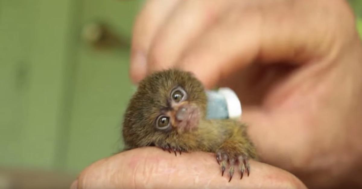 самая маленькая обезьянка гифка оттенки
